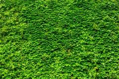 Vägg för grön växt arkivfoton