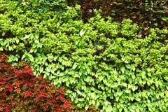Vägg för grön växt royaltyfri foto