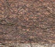 Vägg för röd tegelsten med den gamla torkade växten för klättring arkivfoton