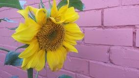 Vägg för röd tegelsten med den ljusa soliga gula solrosen royaltyfri bild