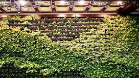 vägg för rankagreenväxt Beijing Kina Royaltyfri Foto