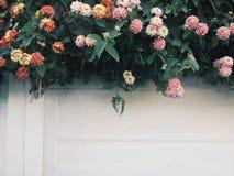 1 vägg med blomninghäcken Arkivbilder
