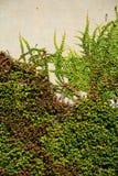 Vägg med den gröna murgrönan Royaltyfria Bilder