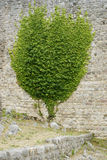 Vägg med den växande växten på den Royaltyfria Bilder