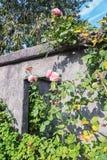 Vägg med ett fyrkantigt hål med främsta blommande rosor i nedgången Arkivfoton