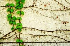 Vägg med murgrönaen Arkivbild