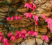 Vägg som täckas med röda murgrönablad Arkivfoto