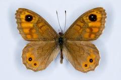 Väggbrunt, Lasiommata megera, fjäril på vit Arkivfoto
