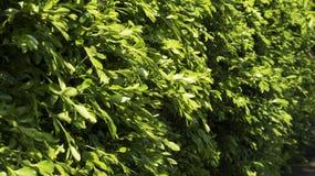 Väggen av träd Arkivfoton