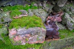Väggen för gammal röd tegelsten som täckas med mossa, och de stupade sidorna Arkivfoto