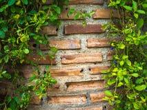 Väggen för röd tegelsten omge är ett grönt blad Fotografering för Bildbyråer