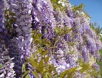 Väggen med blomningWisteria i Turkiet Royaltyfri Bild