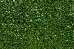 Väggen som täckas fullständigt med gröna murgrönasidor Royaltyfria Bilder