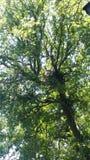 Väglöpare i träd Royaltyfri Foto