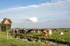 Vägmärke för att korsa kor bredvid en grupp av kor på kanten av ett dike som väntar på en port, ett plant land och en blå himmel fotografering för bildbyråer
