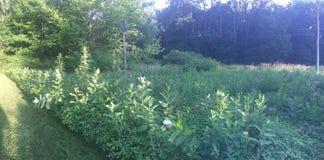 Vägrenmilkweed i blom Arkivbilder