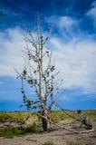Vägrenskoträd - Nevada Royaltyfri Foto