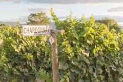 Vägvisare på rad av chardonnay vinrankor i vingård på solnedgången arkivfoton