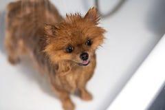 Väl ansad hund ansa Ansa av en pomeranian hund Roligt pomeranian i badet Hund som tar en dusch Hund på den vita backgrouen Arkivbilder