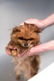 Väl ansad hund ansa Ansa av en pomeranian hund Roligt pomeranian i badet Hund som tar en dusch Hund på den vita backgrouen Royaltyfri Foto