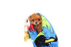 Väl ansad hund ansa Ansa av en pomeranian hund Roligt pomeranian i badet Hund som tar en dusch Hund på den vita backgrouen Royaltyfri Bild