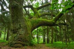 väldig oak Royaltyfri Fotografi