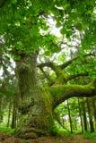 väldig oak Fotografering för Bildbyråer