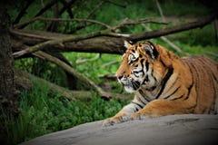 Väldig tiger royaltyfri foto