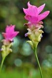 Välformade stemmed Alismatifolia blommor arkivbilder