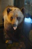 Välfylld björn i ett museum Arkivbild