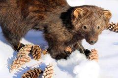 Välfylld fisherkatt i vintersolskenet Fotografering för Bildbyråer