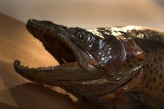 Välfylld fisk med en öppen mun Royaltyfria Foton