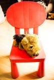 Välfylld hund på den röda stolen Arkivfoton