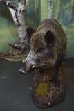Välfylld vildsvin i museet Arkivfoto