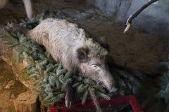 Välfylld vildsvin som lägger på på barrträdträdfilialer Fotografering för Bildbyråer