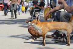 Välfyllda döda djur En räv och en fasan Selektivt fokusera Royaltyfri Bild