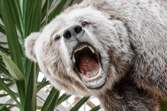 Välfyllda rytande björns huvud Arkivbilder
