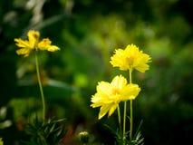Välj fokusen av gula blommor är blommande Framme av de gula blommorna vissnas Royaltyfri Fotografi