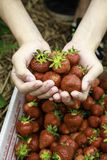 Välj upp dina egna jordgubbar tätt av händer Arkivfoton