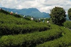 Välj upp nya gröna teblad Arkivbild
