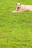 välkomnande för soft för hundgrässlättvalp Royaltyfri Fotografi