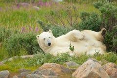 Vältra sig isbjörn 2 royaltyfri fotografi
