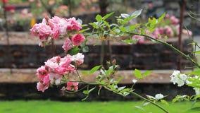 Välva sig grupper av små rosa rosor i trädgård stock video
