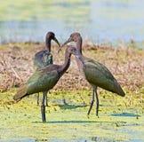 vänd mot ibis white Royaltyfri Bild