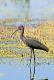 vänd mot ibis white Arkivbild
