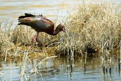 vänd mot ibis white arkivbilder