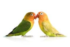 vänd mot lovebirdpersika Royaltyfria Bilder