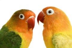 vänd mot lovebirdpersika Royaltyfri Foto