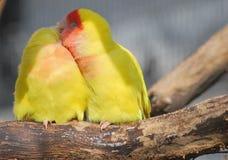 vänd mot lovebirdpersika Royaltyfria Foton