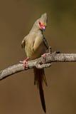 vänd mot mousebirdred Royaltyfri Fotografi